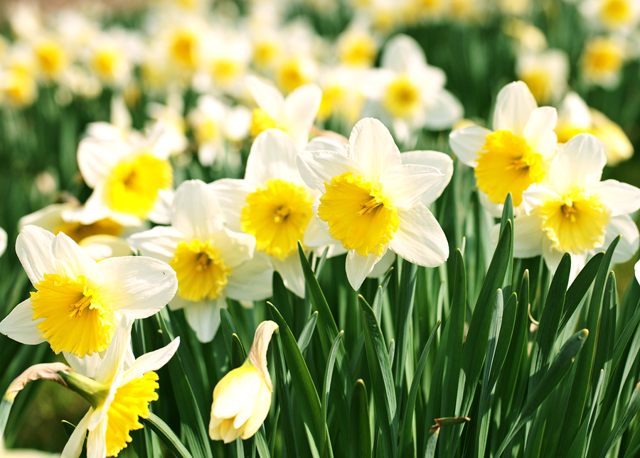 Nargis, or Narcissus
