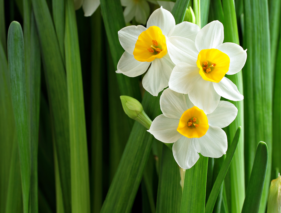 Nargis, or Narcissus